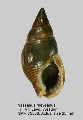 Nassarius reeveanus