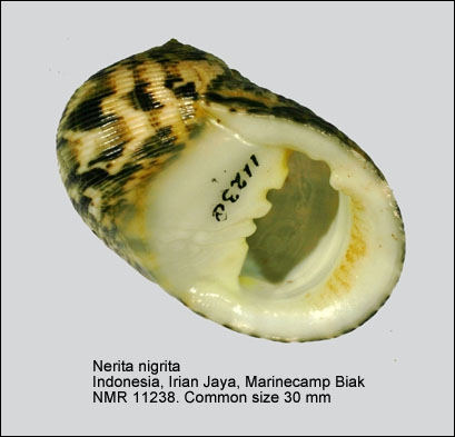 Nerita nigrita