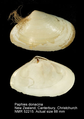 Paphies donacina