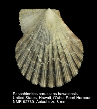 Pascahinnites coruscans hawaiensis