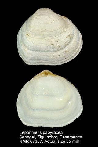 Leporimetis papyracea