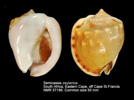 Semicassis zeylanica