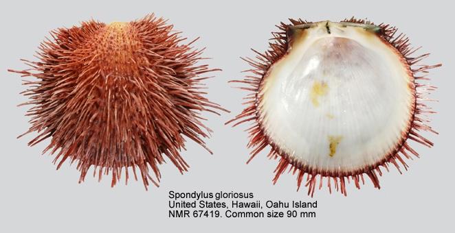 Spondylus gloriosus