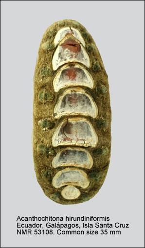 Acanthochitona hirudiniformis