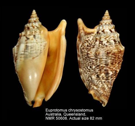 Euprotomus chrysostomus