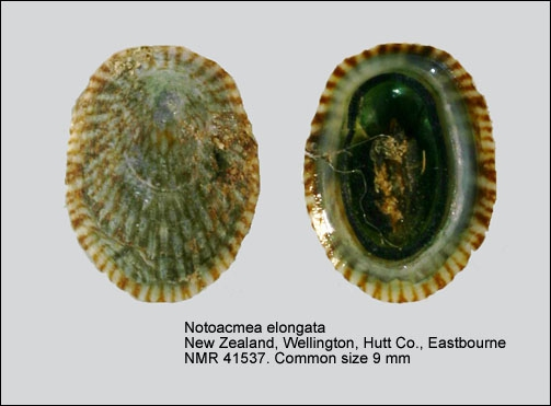 Notoacmea elongata