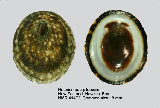 Notoacmea pileopsis