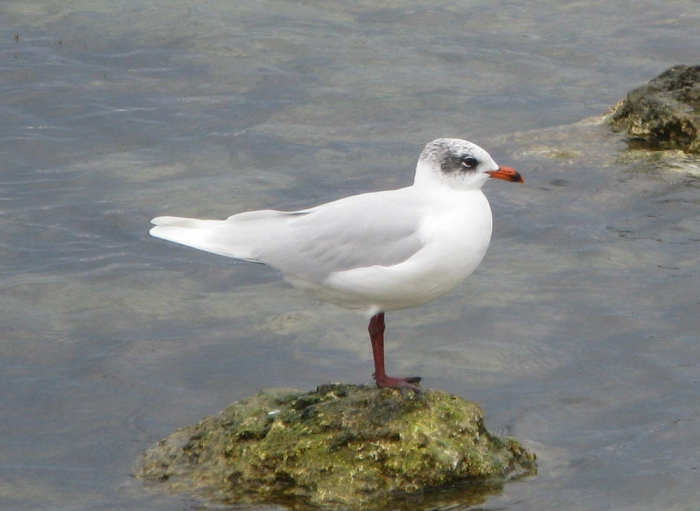 Larus melanocephalus in winter plumage