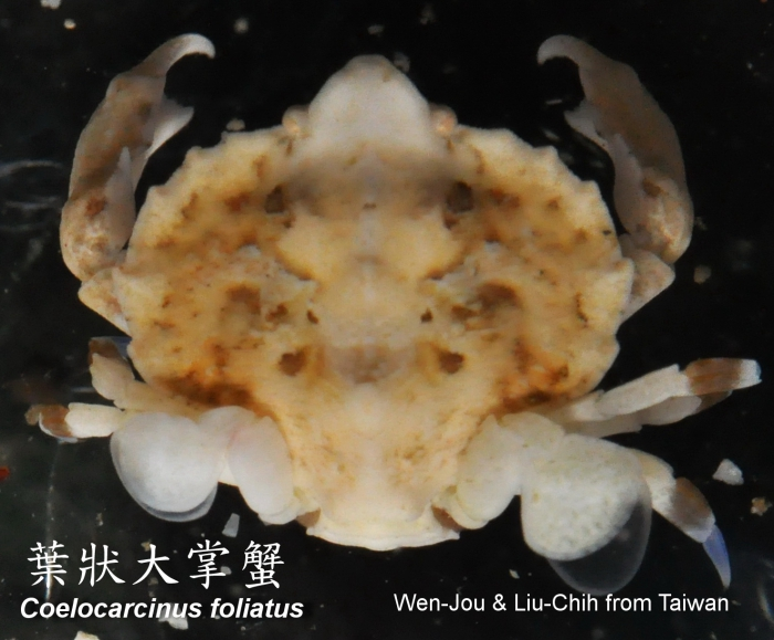 Coelocarcinus foliatus