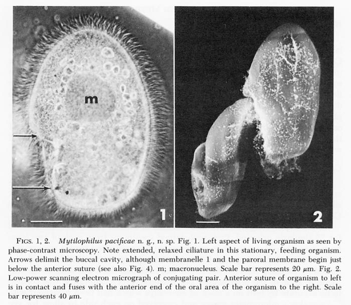 Mytilophilus pacificae
