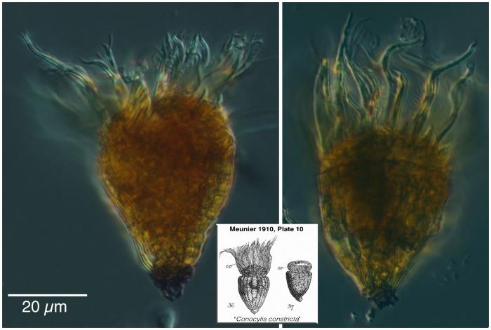 Foissneridium constricum