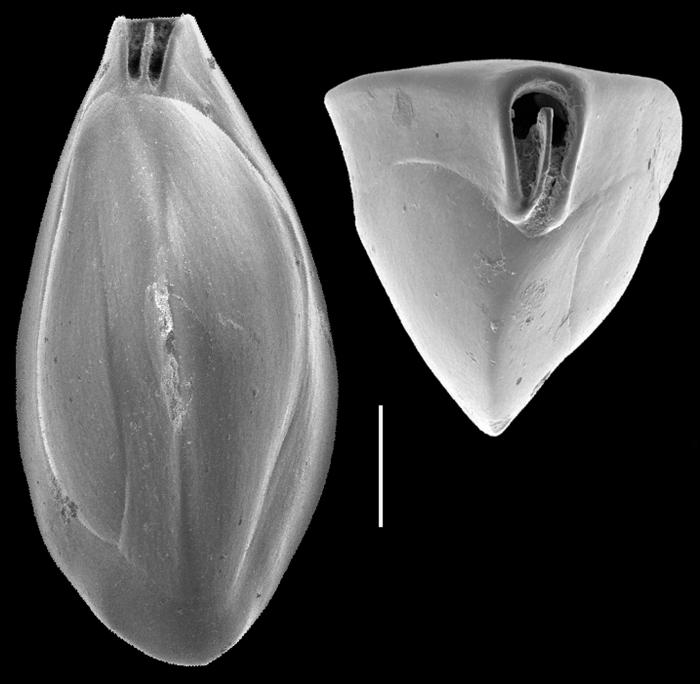 Triloculina elongotricarinata