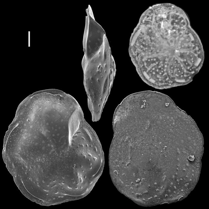 Hoeglundina neocarinata