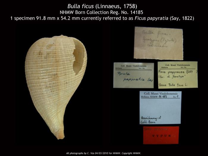 NHMW 14185 - Coll. I. von Born.