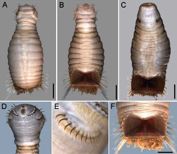 Sternaspis thalassemoides from Sendall & Salazar Vallejo (2013)