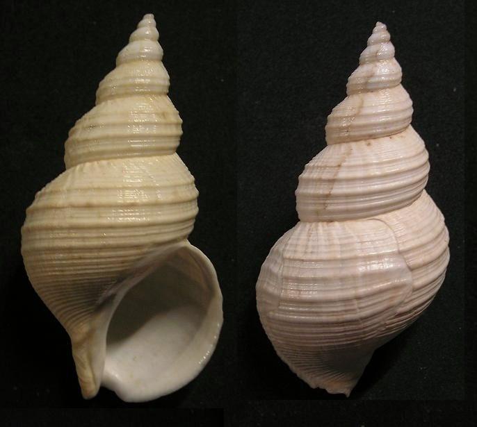 Buccinum leucostoma