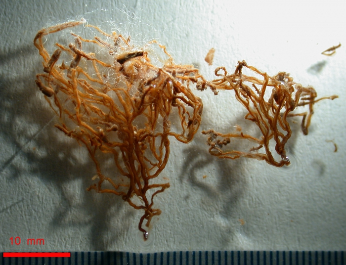 Coryne vermicularis type specimens