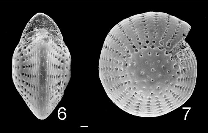 Elphidium mortonbayense Australia