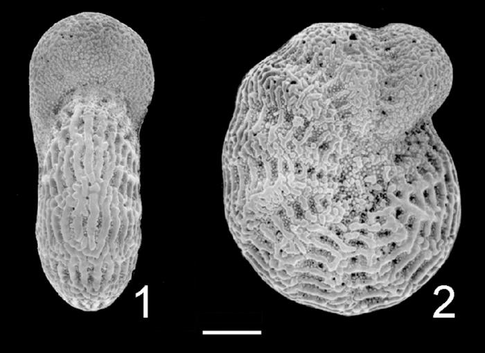 Elphidium reticulosum Fiji