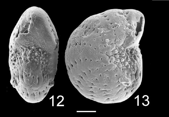 Elphidium nitidum TOPOTYPE NZ