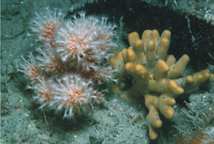 Alcyonium glomeratum, Axinella dissimilis and Holothuria forskali