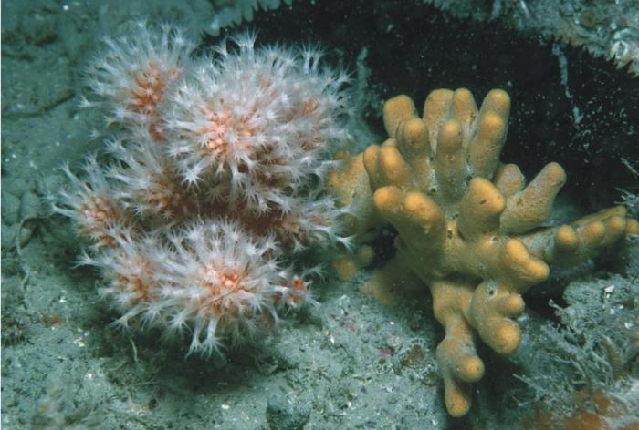 Alcyonium glomeratum, Axinella dissimilis and Holothuria forskali