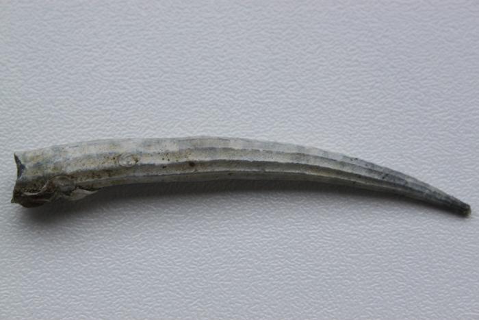 Dentalium bisexangulatum