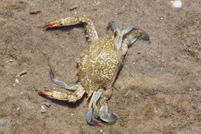 Portunus (Portunus) pelagicus
