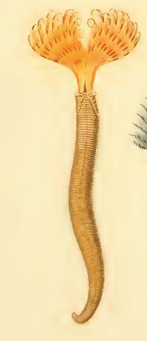 Pseudobranchiomma ceratodaula original plate (as Sabella ceratodaula)