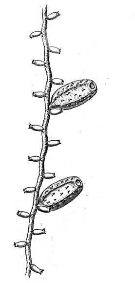 Lineolaria spinulosa, hydrothecae and gonothecae, from Hincks (1861)