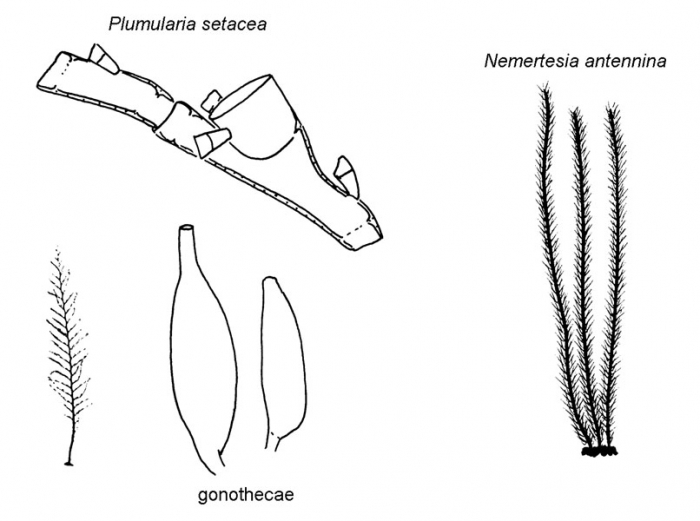 Family Plumulariidae: typical forms