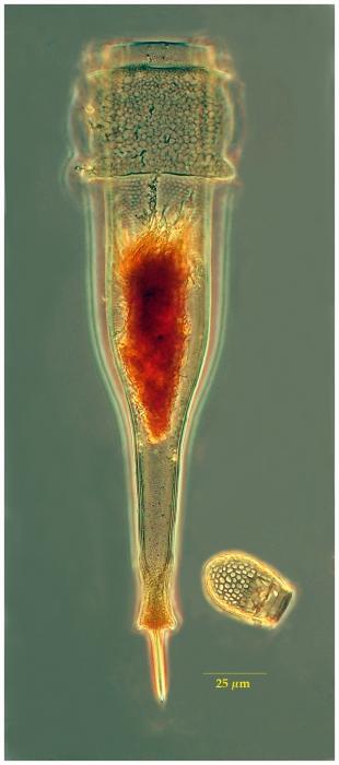 Xystonellopsis dicymatica (Brandt 1906)