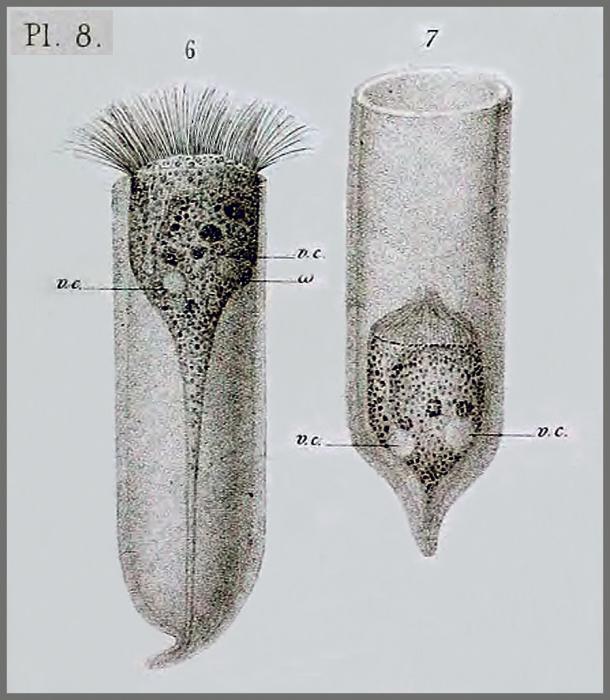Favella ehrenbergii from Claparède & Lachmann