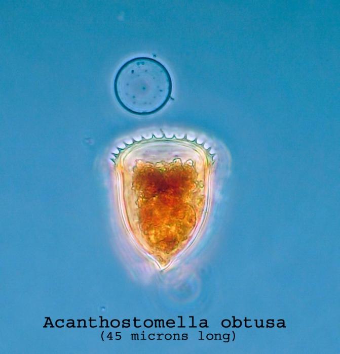 Acanthostomella obtusa