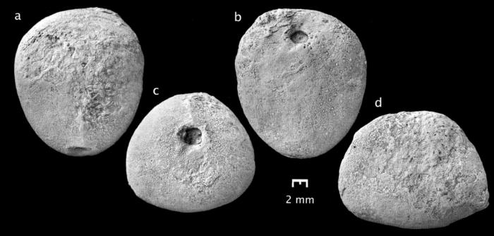 Bathyovulaster disjunctus, Holotype