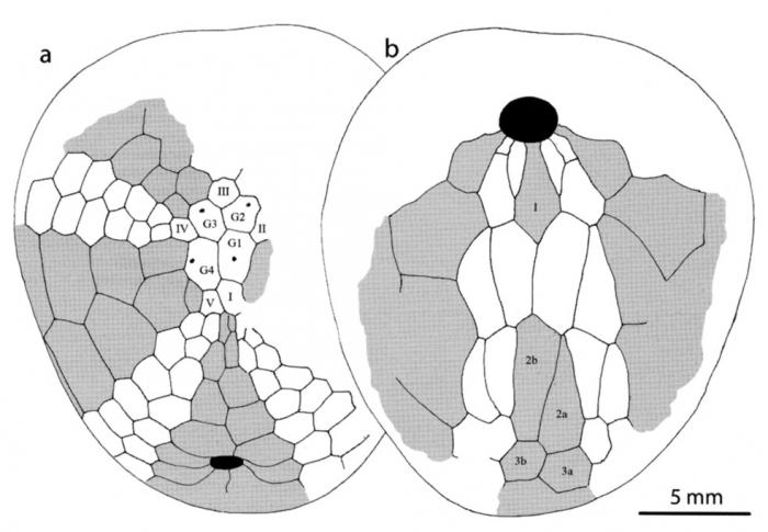 Bathyovulaster disjunctus, plating pattern