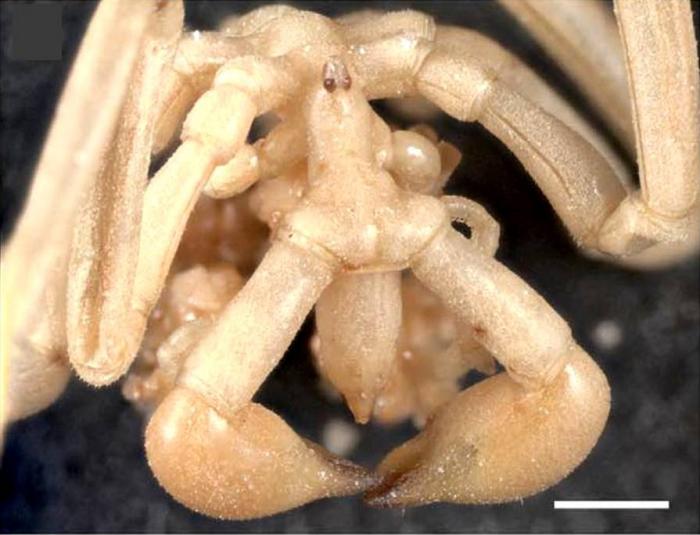 Pseudopallene ambigua