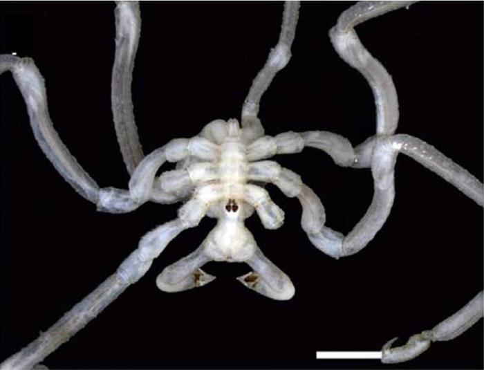Pseudopallene gracilis
