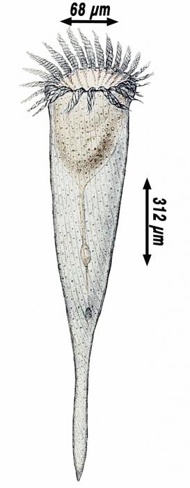 Rhabdonella spiralis by Hermann Fol