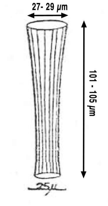 Eutintinnus striatus, drawing from original description by Nie & Ch'eng 1947