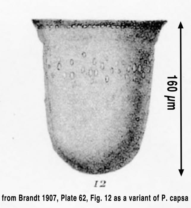 Petalotricha indica