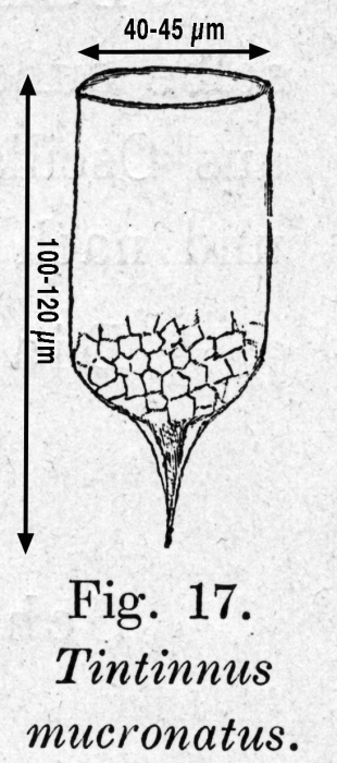 Epiplocylis mucronata - drawing from original description as Tintinnus micronatus