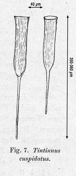 Original drawing of form known as Rhabdonella  cuspidata in Kofoid & Campbell 1929