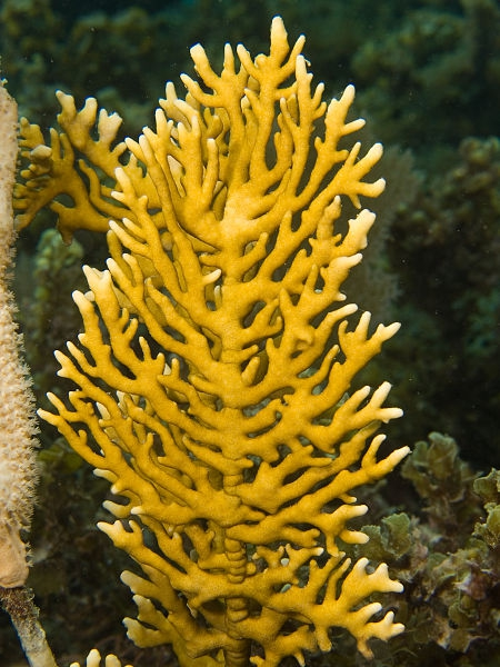 Millepora alcicornis, source Wikipedia