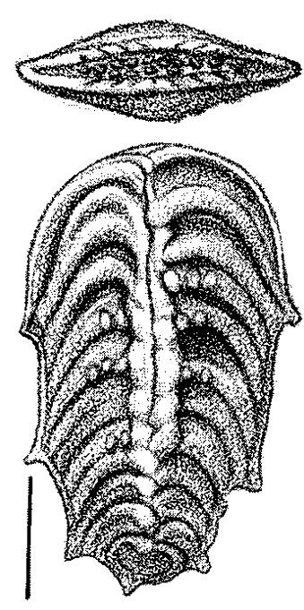 Bolivinella australis Cushman. Paratype