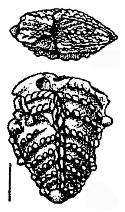 Bolivinella profolium Hayward HOLOTYPE