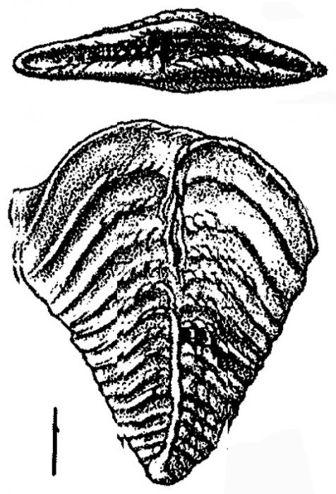 Bolivinella lillei Hayward HOLOTYPE
