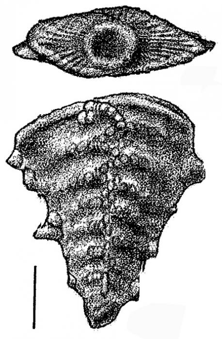 Inflatobolivinella subrugosa zealandica Hayward HOLOTYPE