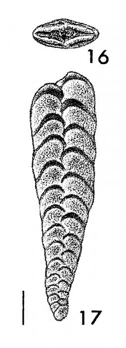 Inflatobolivinella procera Hayward HOLOTYPE