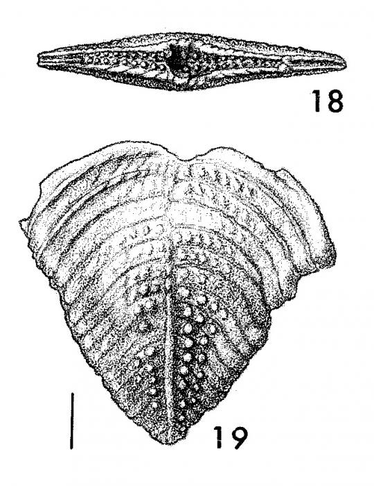 Bolivinella subrugosa Butt PARATYPE